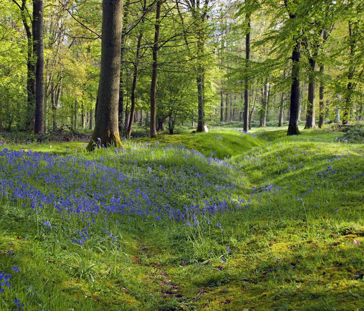 Bluebells_Delville_Wood
